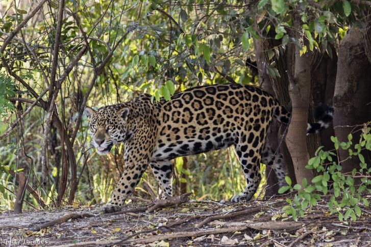 Jaguár (Panthera onca)