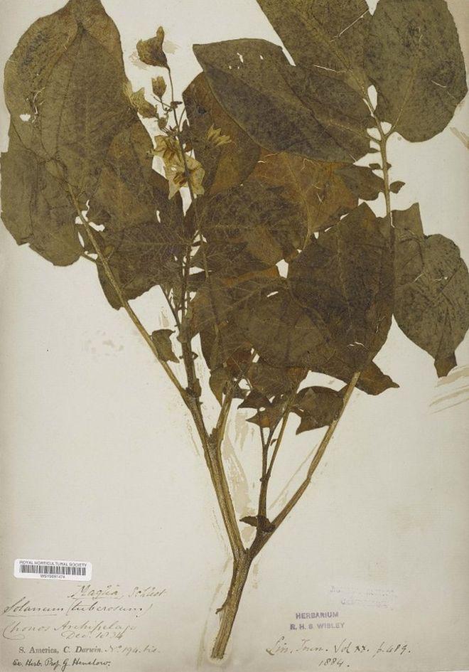 A krumplinövény, amit Darwin gyűjtött