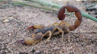 A sárga skorpió Brazília új átka