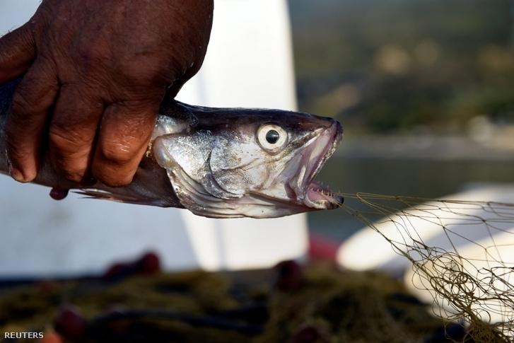 Dimitris Karapetsas kiszabadít egy halat Panagiotis Pagonis hajója fedélzetén