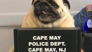 Fantasztikus bűnügyi fotó készült egy letartóztatott mopszról