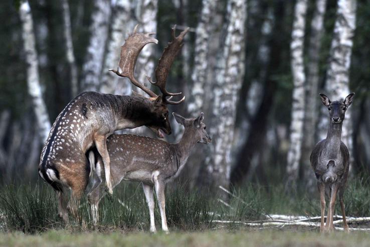 Az igazi romboló a szarvas és a dámvad, az ő párzásuk ősszel indul