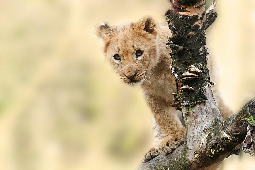 A fiatal oroszlánról készült videó az utóbbi hónapok legszomorúbb felvétele