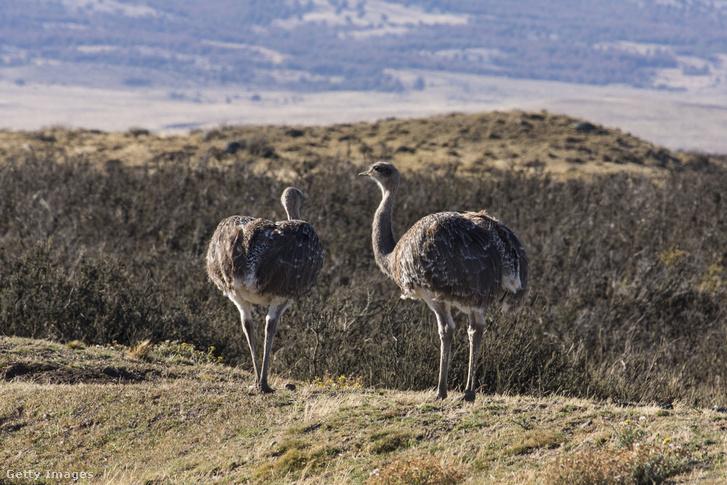 Darwin-nanduk nézelődnek egy chilei nemzeti parkban