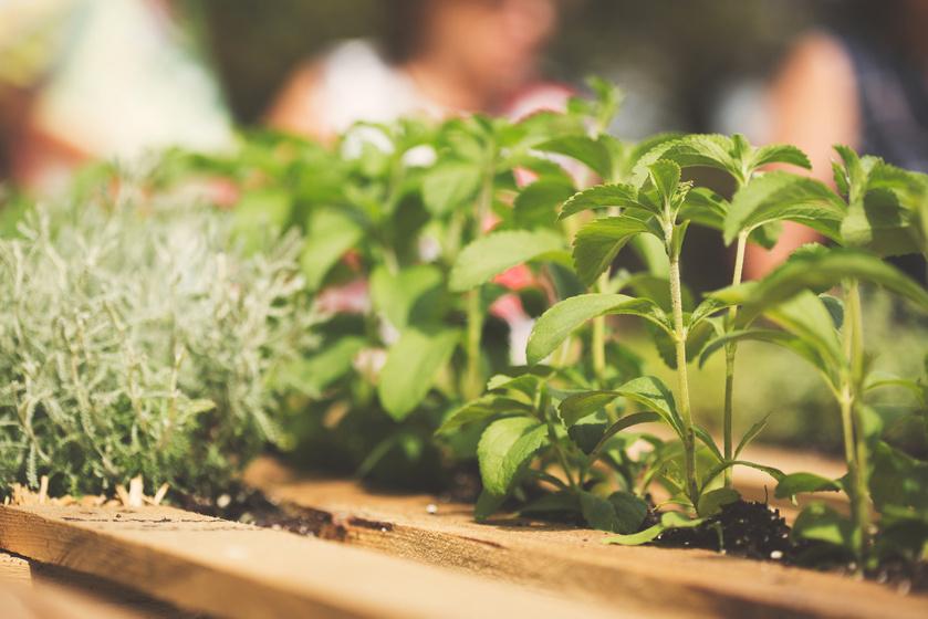 Otthon is termeszthetsz sztíviát: nem kell méregdrágán megvenned az édesítőszert