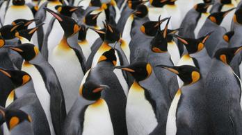 Összeomlott a királypingvinek legnagyobb kolóniája