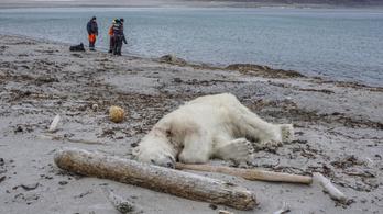 Világbotrány lett az emberre támadó jegesmedve kilövéséből