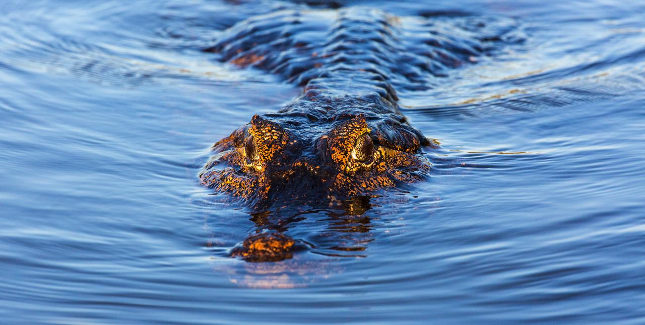 aligator-vizben-hullo