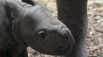 Az állatkert látogatóinak orra előtt született meg egy orrszarvú Angliában