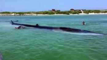 Partra sodródott egy 18 méteres bálna, az emberek összefogtak a megmentéséért