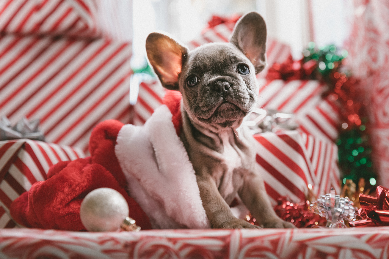 kutya frenchie karácsony