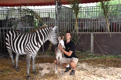 zebra-kolyok
