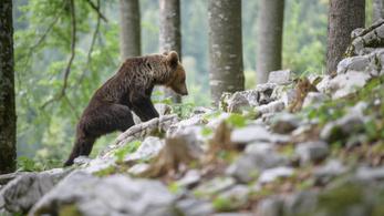 A román bürokrácia útvesztőjében bolyonganak a medvék