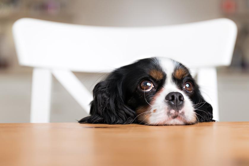 Sokan rágóka helyett adják a kutyának, pedig meg is ölheti: ezt az ételt azonnal szedd ki a blöki szájából