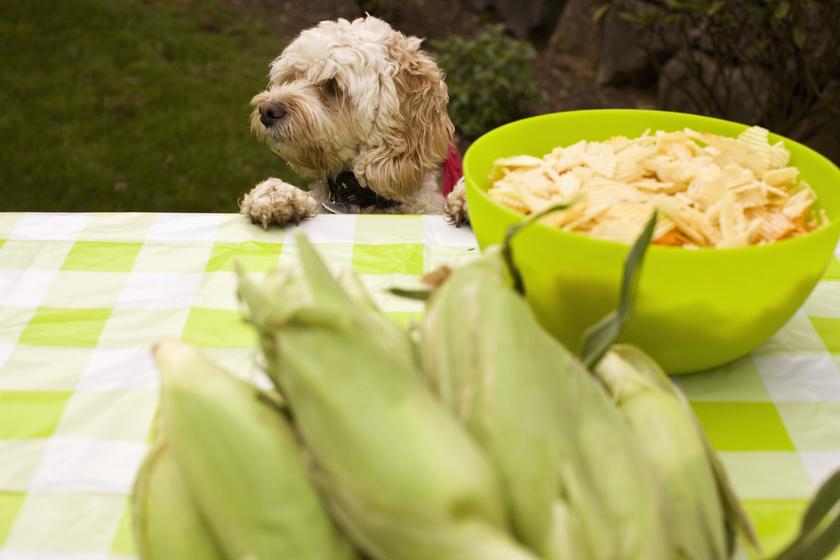 kutya-kukorica-asztal