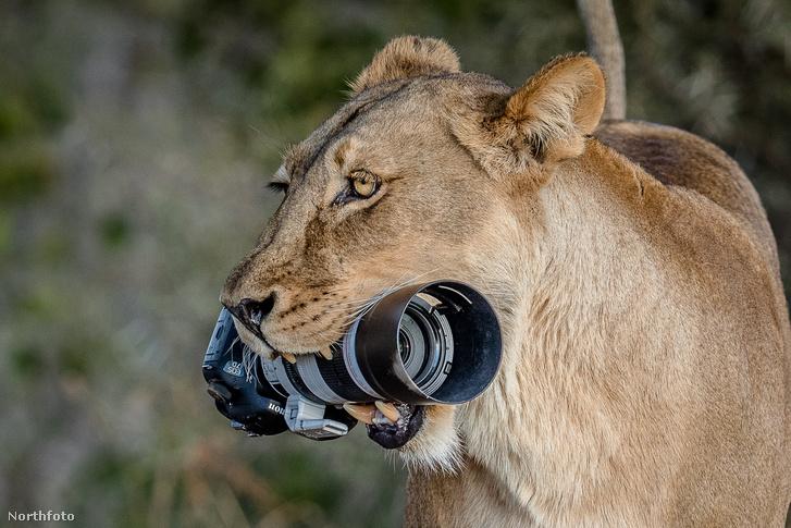 tk3s swns lion camera 04