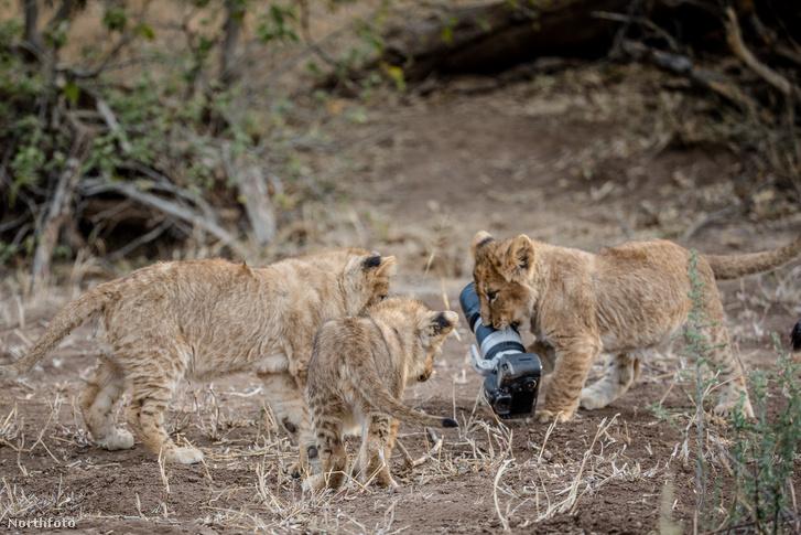 tk3s swns lion camera 07