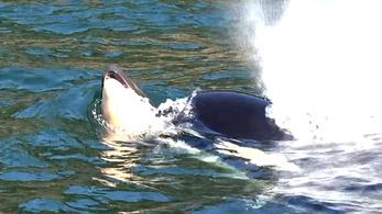 Elengedte hetek óta magával hurcolt halott kicsinyét a gyászoló kardszárnyú delfin