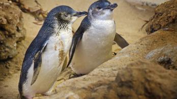Klímaváltozás és turistahad tizedeli a törpe pingvineket