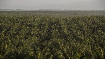 A pálmaolaj miatt halhatnak ki afrikai majmok