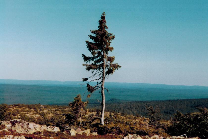 Majdnem 10 ezer éves a világ legöregebb fája: magányosan magaslik skandináv földön