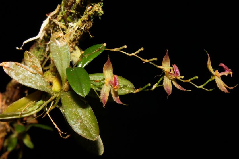 Új orchideafajt fedeztek fel: fotón mutatjuk az eddig ismeretlen virágot
