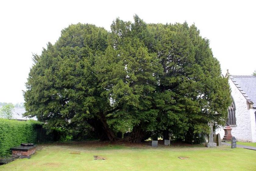 Ragaszkodás tiszafa fák