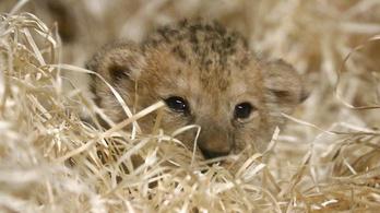 A vadonban már kihalt oroszlán született Plzeňben