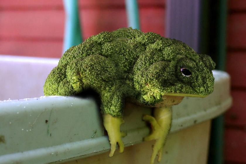 Brokkolit vagy békát látsz a képen? 10 fotó, ami próbára teszi a szemed