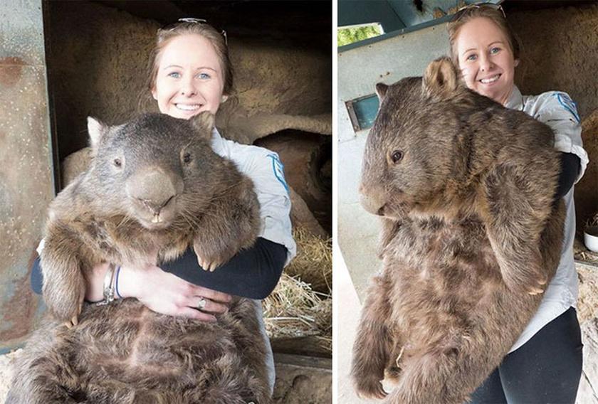 Egy felnőtt vombat testtömege akár 35 kilogramm is lehet. Ne aggódj, mi is sokkal kisebbnek képzeltük.