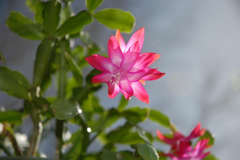 A karácsonyi kaktusz onnan kapta a nevét, hogy karácsony környékén virágzik. A gondozása egyszerű, és sok virággal hálálja meg a figyelmet.