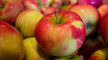 Magyar gazdák: Az őrült profitéhség miatt áron alul vásárolják fel az almát