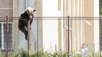 Iskolaudvaron lőttek ki egy medvét Erdélyben