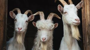 Az év üzlete: 18 játékosát 10 kecskére cserélte egy török focicsapat