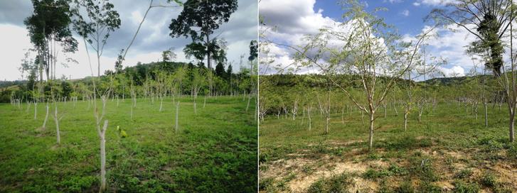 Moringa fák a CFF kertjében, Kuala Lumpur külterületén