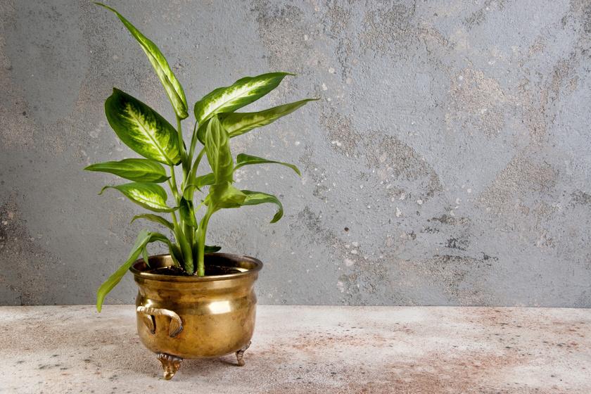 A diffenbachia az egyik legszebb és legigénytelenebb szobanövény, de óvatosan kell bánni vele, ha kutya vagy macska is van a lakásban. Száj- és nyelvirritációt, nyálzást, nyelési nehézségeket és hányást okozhat.