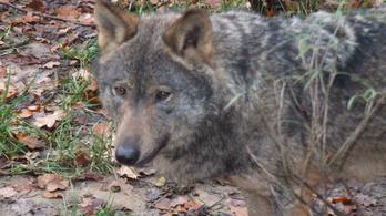 Lefejezett farkas borzolja a kedélyeket Spanyolországban