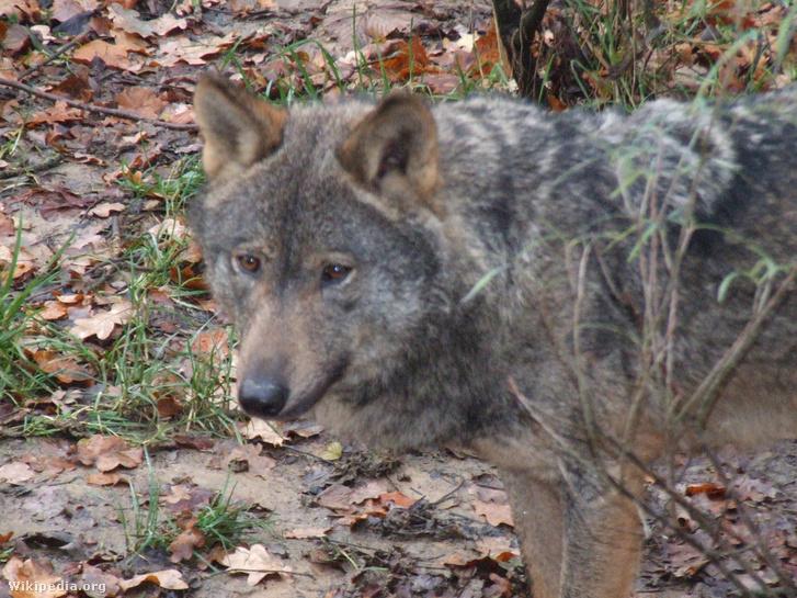 Ibériai farkas (Canis lupus signatus)