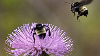 A méhek rá tudnak függni a rovarirtóra