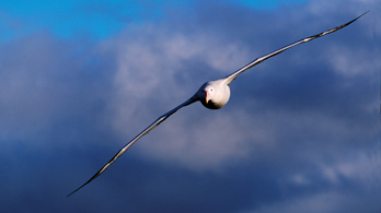 Ezek a madarak szinte sosem szállnak le a földre