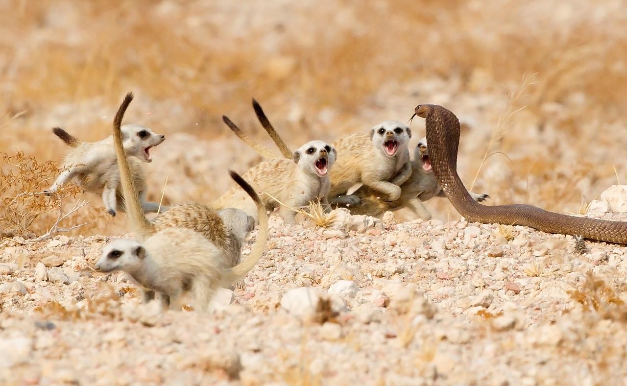 Tertius A Gous (Dél-Afrika): Szurikátaszakasz (The meerkat mob). Félelem és reszketés a Namíb-sivatagban: egy kevéssé ismert kígyófélével, egy Anchieta-kobrával (avagy angolai kobrával) néznek farkasszemet ezek a szurikáták. A ragadozó hüllő két kölyökre vetett szemet, de a kotoréklakó kis emlősök összefogtak, és együttes erővel kergették el a kobrát: a felnőttek egy csoportja a megtámadott kölyköket menekítették biztonságba, míg egy másik csapat agresszív viselkedéssel megfutamította a kígyót.