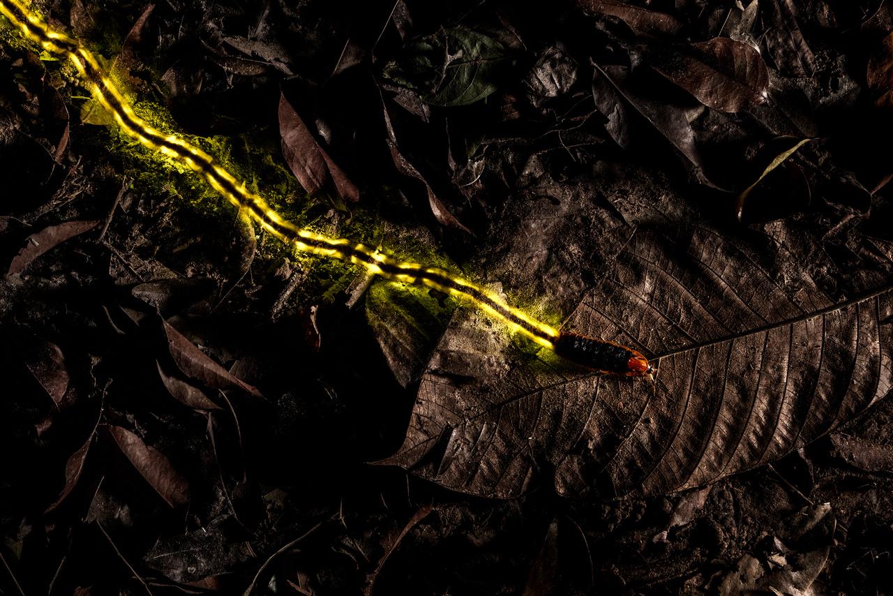 Christian Wappl (Ausztria): Úttörő (Trailblazer). Egy csaknem nyolc centiméter hosszú szentjánosbogár-lárva tör előre a talajt borító avaron Thaiföld egyik botanikus kertjében. A 33 másodperces expozícióval készült éjszakai fotón látható sárga csík a főként csigafélékre vadászó rovar által fél perc megtett utat mutatja, az általa kibocsájtott fény révén.