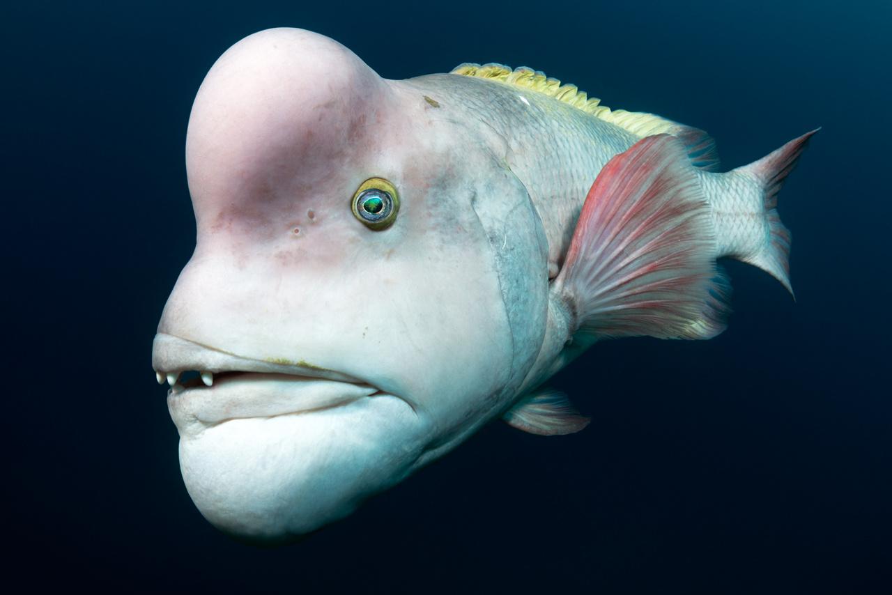 Tony Wu (USA): Szerelmet keresve (Looking for love). Ázsiai birkafejű ajakoshal portréja. Az ajakoshalfélék közül ez a fajta nő a legnagyobbra, az egyméteres hímek egymást lefejelve és harapva küzdenek a nőstények kegyeiért, a képen látható példány ezen harcok nyomait viseli fején. A Koreai-félsziget, Kína és Japán környéki vizekben élő halfaj érdekessége, hogy egyedei kivétel nélkül nőneműnek születnek, és csak később, egy bizonyos életkort és testhosszt elérve váltanak nemet. A hosszú életű és lassan növekvő halat a túlzott halászat sodorhatja a kipusztulás szélére.