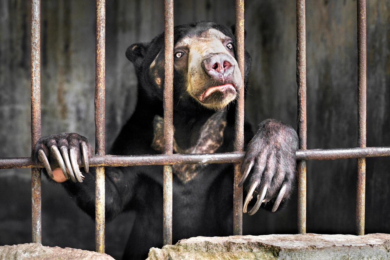 Emily Garthwaite (Egyesült Királyság): Szemtanú (Witness). Sanyarú körülmények között élő maláj medve egy indonéziai állatkertben. A világ legkisebb testű medveféléje délkelet-ázsia erdőkben él, és ha nem parancsol senki megálljt az erdőirtásoknak, valamint az orvadászatnak és állatcsempészetnek, akkor a kihalás szélére kerülhet ez az emlős is. (A hagyományos kínai kuruzslásban csodálatos gyógyerőt tulajdonítanak a maláj medvék epeváladékának, csakúgy mint egy sor egzotikus állat egyéb testrészeinek.) A fotós beszámolója szerint a szumátrai állatkertben több maláj medvét is tartanak fogva megdöbbentően rossz körülmények között, a képen látható példány valósággal rettegett gondozójától, és mintha szabadulását remélte volna tőle, a fotós minden lépését igyekezett követni.