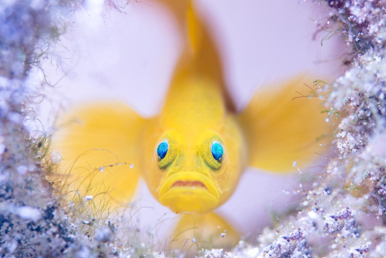 Wayne Jones (Ausztrália): Az üvegház őre (Glass-house guard). Egy sárga törpegéb (Lubricogobius exiguus) őrzi otthonát, egy rég elhajított üvegpalackot, a Fülöp-szigeteki Mabini partjainál. A 3-4 centiméteresre megnövő halfaj a Csendes-óceán szubtrópusi vizeiben él, leginkább párokban. A képen látható hím úgy ítélte meg, hogy a tenger fenekére süllyedt hulladék tökéletesen megfelelő átmeneti lakás lesz kettőjük számára. Míg bent a nőstény lerakja ikráit, addig párja őrzi az üvegház bejáratát.