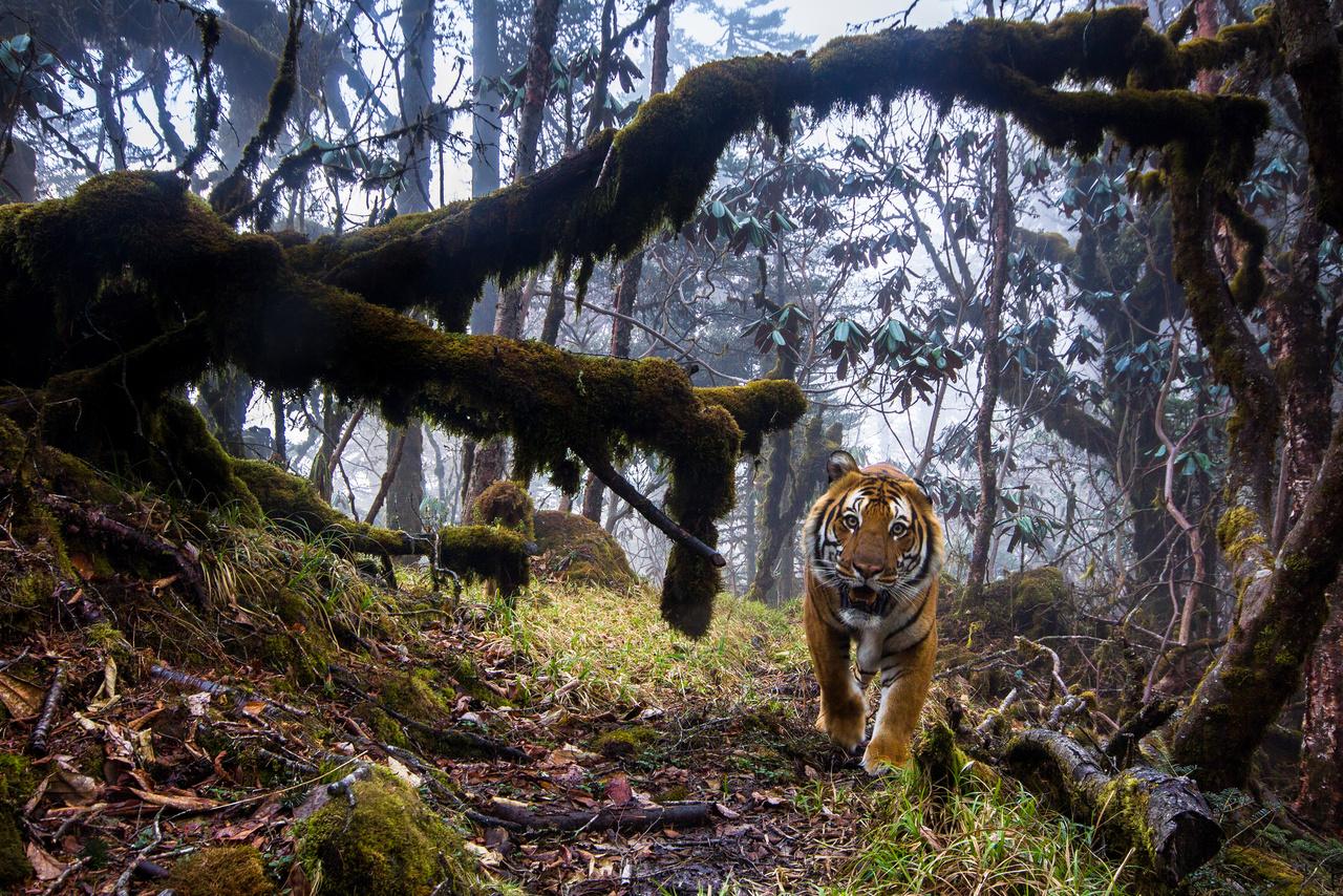 Emmanuel Rondeau (Franciaország): Tigrisföld (Tigerland). Hím bengáli tigris szemez a vadcsapás mellé helyezett automata kamerával a Himalája egyik távoli erdejében, Bhután középső részén. Az ösvény, amin a veszélyeztetett ragadozó lopakodik, része annak az erdei úthálózatnak, ami az ország nemzeti parkjait köti össze. Sajnos a fakitermelés és orvadászat nincs tekintettel a bengáli tigrisekre, a legutóbbi számlálás idején már csak 103 példány élt belőlük Bhután erdeiben.