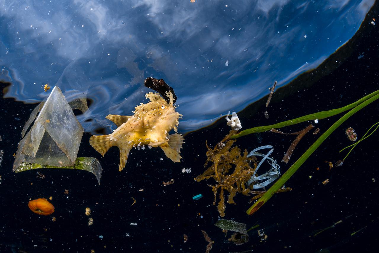 Greg Lecoeur (Franciaország): Élet a szemét közt (Life among litter). A Histrio histrio (avagy Sargassum-hal) nevű különleges ragadozóhal a szubtrópusi óceánok lakója, előszeretettel bújik meg egy barna algaféle (a Sargassum) alkotta úszó szigetek ág-bogai közt - ebben rejtőszínei, rojtos bőrkinövései is segítik. A képen látható példányt egy indonéziai sziget partjainál fényképezte le a francia fotós. A Raja Ampat körüli vizek erős áramlatai az utóbbi időkben nagy mennyiségű hulladékot sodornak össze, a változatos összetételű szemét közt a ritka halfajta nem nagyon tudja hasznát venni rejtőzködő képességének.