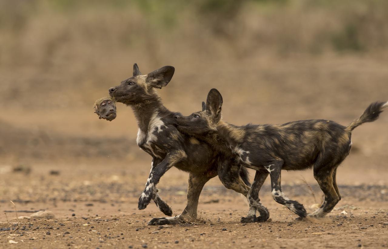 Nicholas Dyer (Egyesült Királyság): Fejhosszal vezet (Ahead in the game). Afrikai vadkutyakölykök játszanak reggelijük - egy medvepávián - maradékával a zimbabwei Mana Pools Nemzeti Parkban. A veszélyeztetett afrikai vadkutyák jellemzően antilopokra, impalákra, kudukra vadásznak, de az utóbbi években többször is megfigyelték, hogy szokatlan módon páviánokat szemeltek ki eledelül. A furcsa és egyben veszélyes (a medvepáviánok nagytestű mindenevők) új szokásra egyelőre nincs magyarázat, a fotós beszámolója szerint a levadászott páviánból kilenc vadkutyakölyök lakott jól, mielőtt kezdetét vette volna az emberi szemmel morbidnak mondható labdajáték.