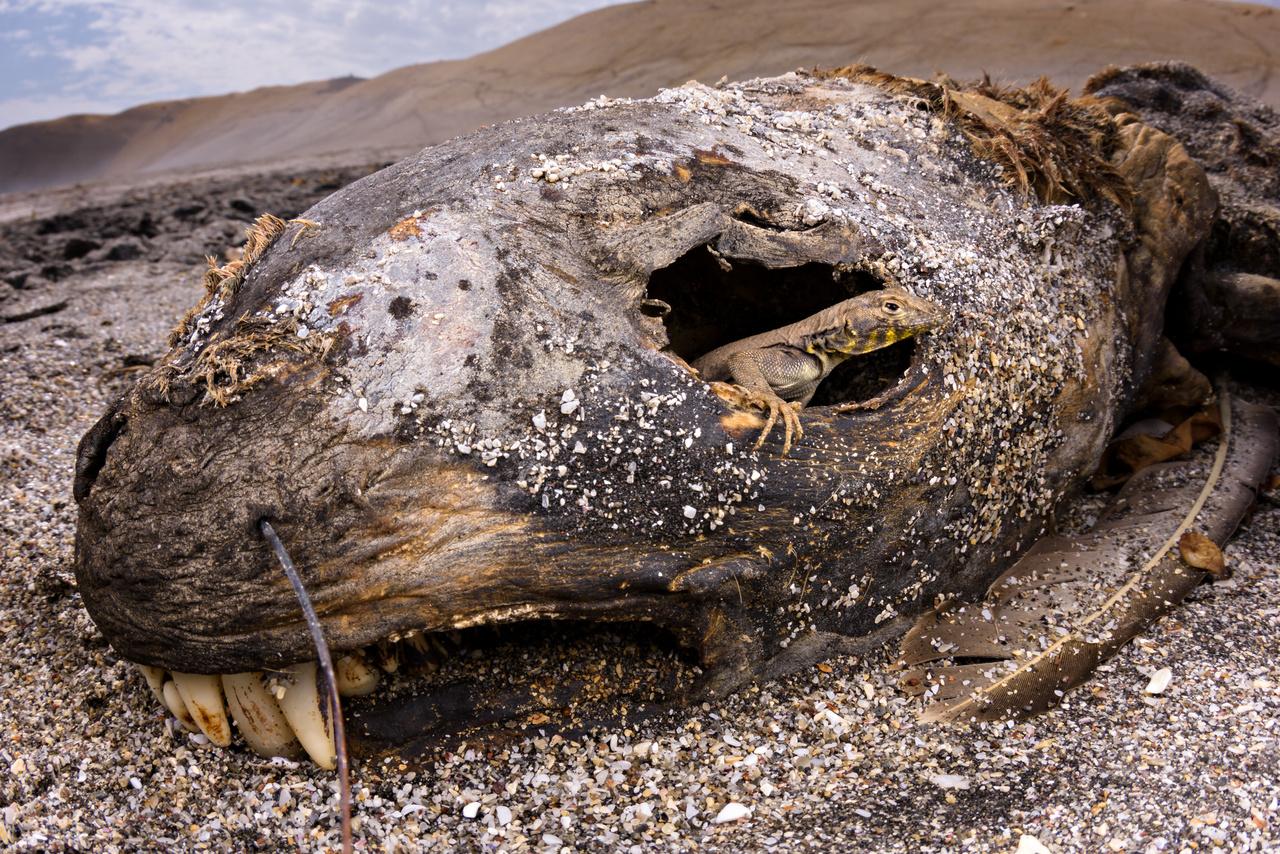 Emanuele Biggi (Olaszország): Szemtől szembe (Eye to eye). A perui Paracas Nemzeti Rezervátum sivatagos partvidékén készült ez az életet és halált egyetlen jól elkapott pillanatba sűrítő fénykép. Az oroszlánfóka oszladozó tetemének szemén kikukucskáló perui iguána (Microlophus peruvianus) számára nemcsak táplálékot, de menedéket is biztosít az elhullott tengeri emlős.