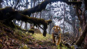 A tigris és társai velünk együtt bandukolnak a kihalás felé